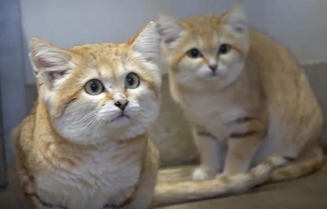 日本那須動物王國沙漠貓