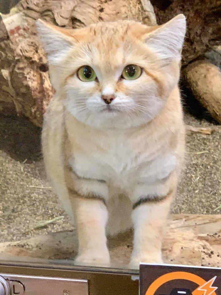 沙漠貓是世界最小野生貓科動物