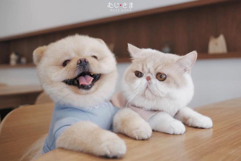泰國台Mumaru博美犬Muji和異國短毛貓Mumaru