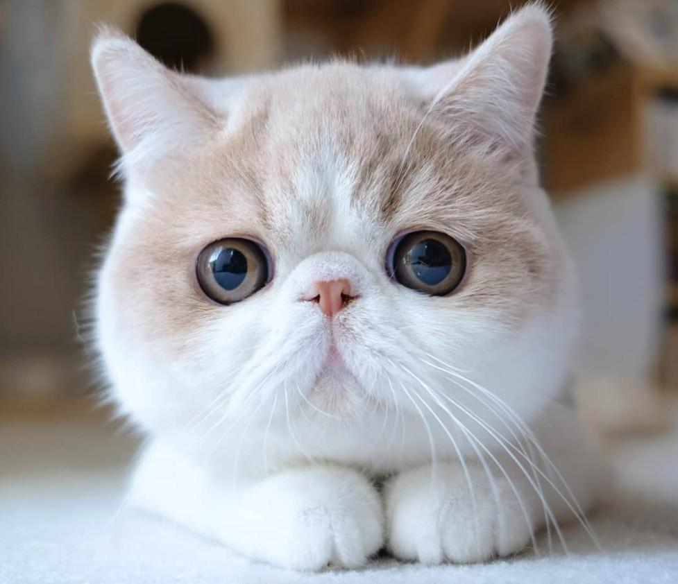 異國短毛貓Mumaru可是IG擁有2.4萬粉絲的明星貓