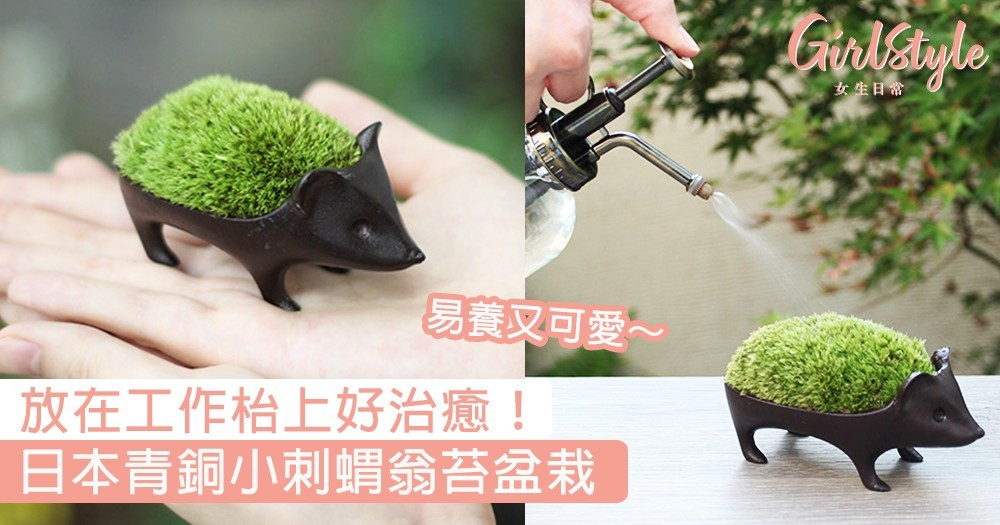日本青銅小刺蝟翁苔盆栽!易養又可愛,放在工作枱上好治癒~