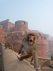 agra fort monkey
