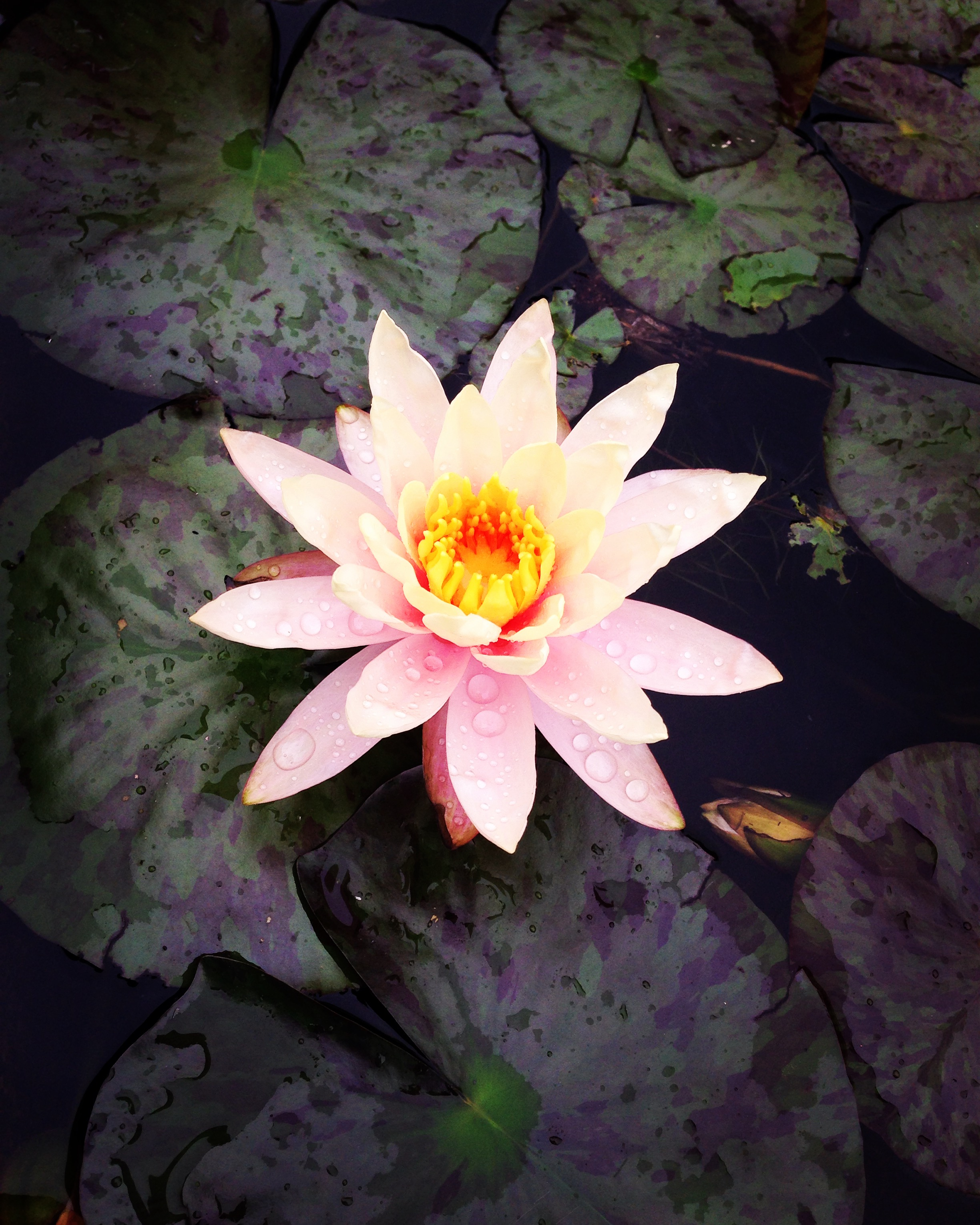 Nymphaea at the Botanical Garden of Padua, Italy