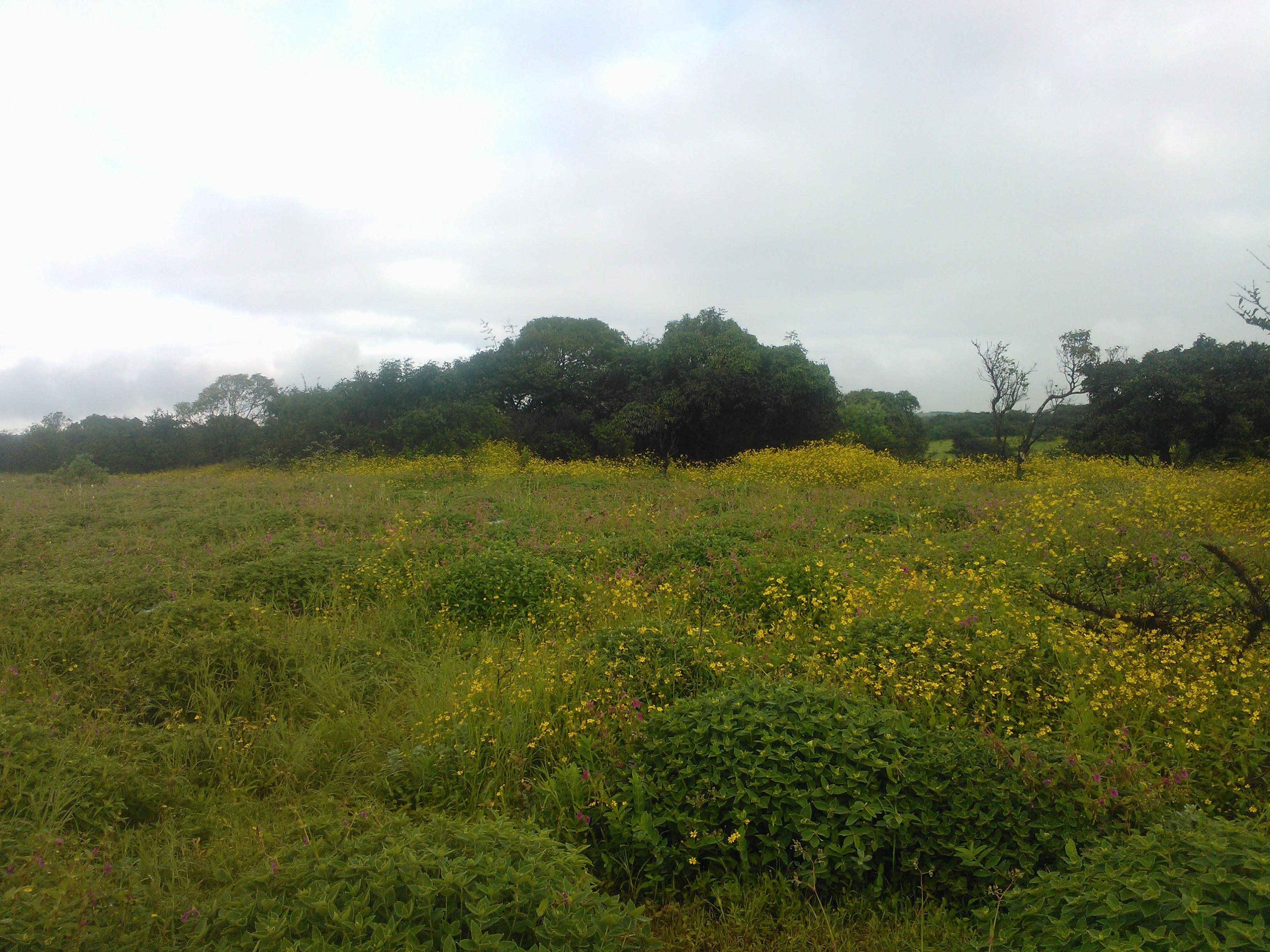 Flowers at the Kaas plateau