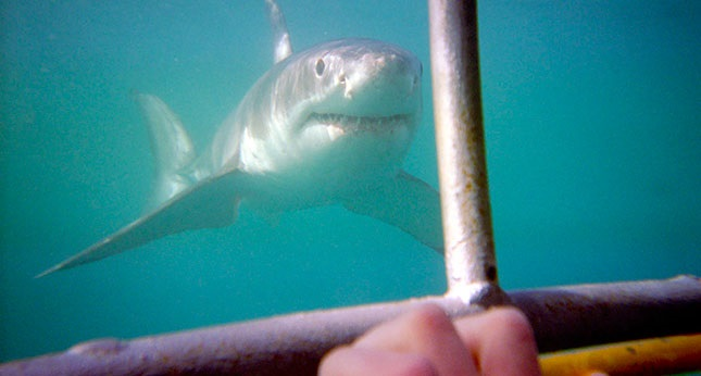 The Thrill and Excitement of Shark Cage Diving