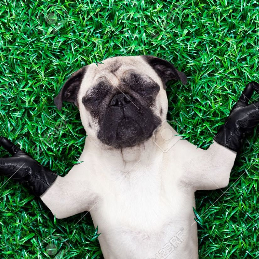 Pug dog yoga meditating on grass or meadow in the park with closed eyes
