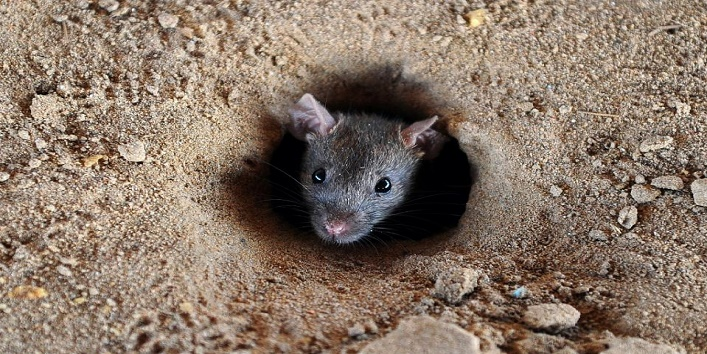 How to get rid of rats1