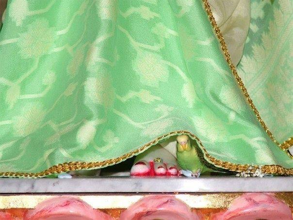 Shukdev Paramhans - A Special Parrot of Radha Rani