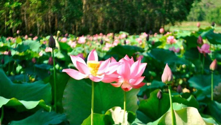 Đẹp ngỡ ngàng 'cánh đồng sen Tháp Mười' thu nhỏ giữa Quảng Nam