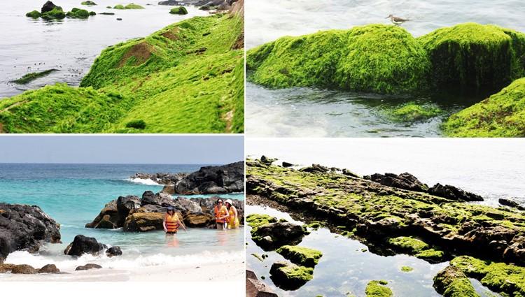 Rêu dệt thảm trầm tích núi lửa ở đảo Lý Sơn