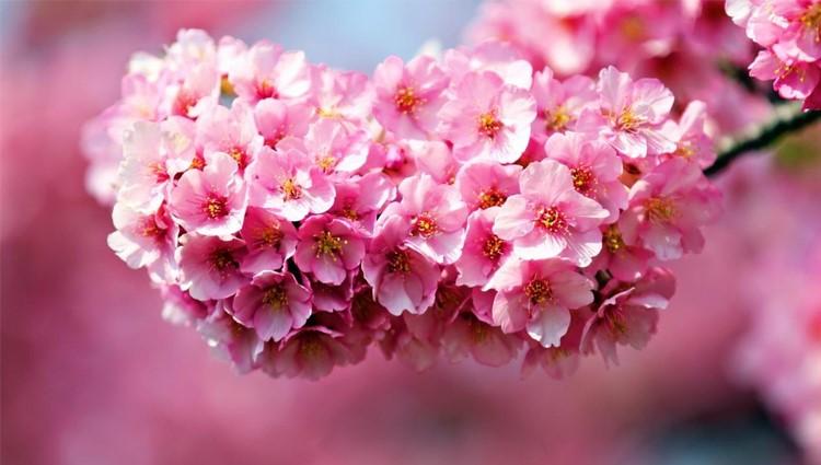 Sắc hoa đỗ quyên rực rỡ giữa núi rừng Tây Bắc
