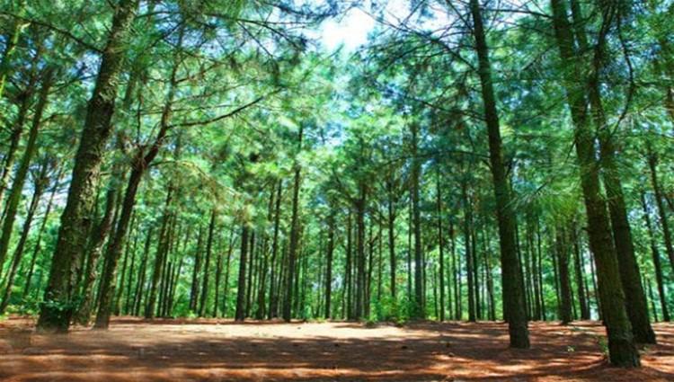 Ngày hè check in rừng thông yên bình và xanh mát ngay ngoại ô Đà Nẵng