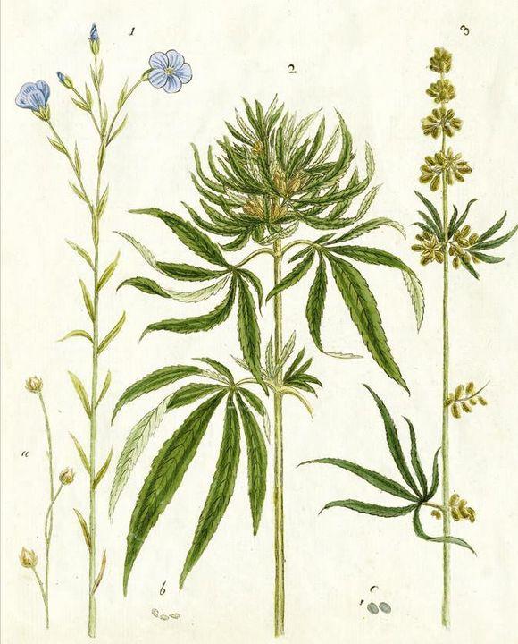 """Hình ảnh cây cần sa của Carl Linnaeus trông """"từ điển thực vật"""" xuất bản năm 1753"""