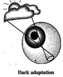 Image result for adaptation of eyes