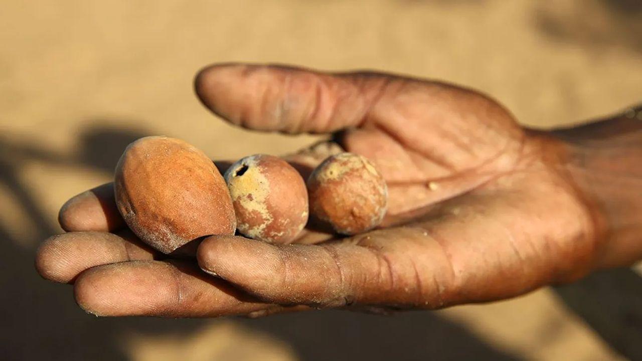 """Hạt marula lên men - """"bia"""" của loài voi Nam Phi"""