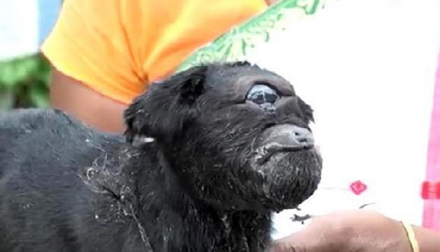 असम में चमत्कार, महज एक आंख-कान लेकर पैदा हुआ बकरी का बच्चा