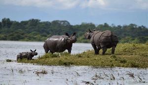 असम में बाढ़ के कारण काजीरंगा नेशनल पार्क में मारे गए 140 जानवर