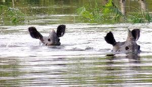बाढ़ से असम के काजीरंगा नेशनल पार्क में मारे गए 401 जानवर