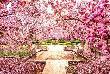 अब भारत में लीजिये चेरी ब्लॉसम के बागों का मजा, जानिए कैसे