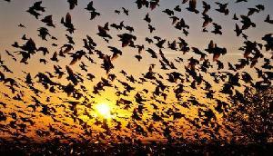 असम के जटिंगा गांव में पक्षी करने आते हैं सुसाइड
