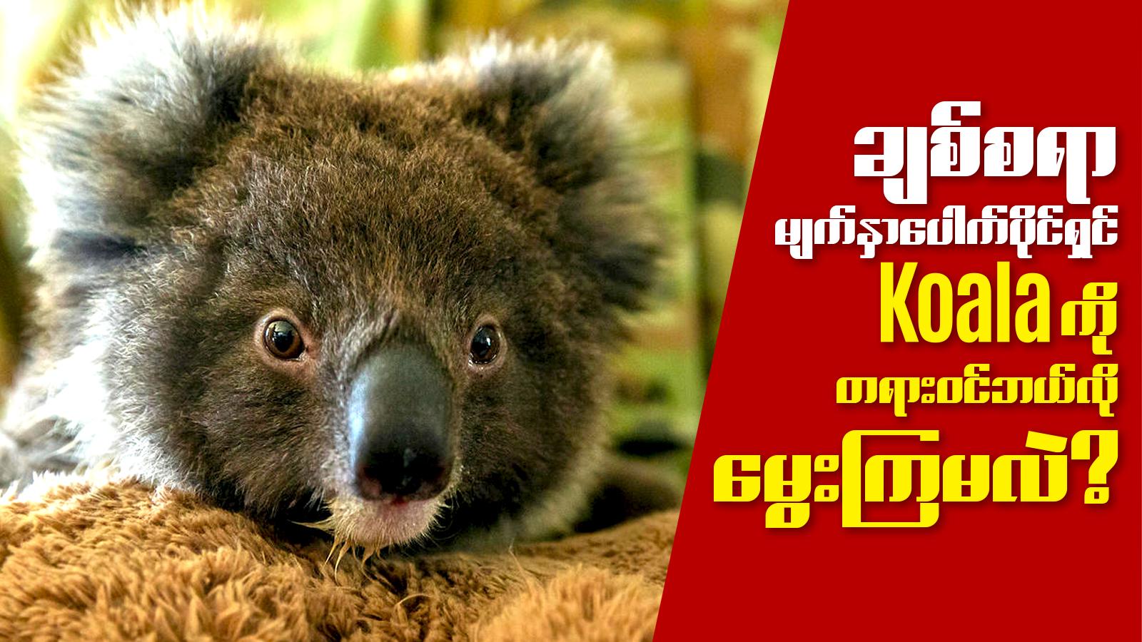ခ်စ္စရာ မ်က္ႏွာေပါက္ ပိုင္ရွင္ Koala  Bear ေလး ကို တရား၀င္ ဘယ္လို ေမြးၾကမလဲ?