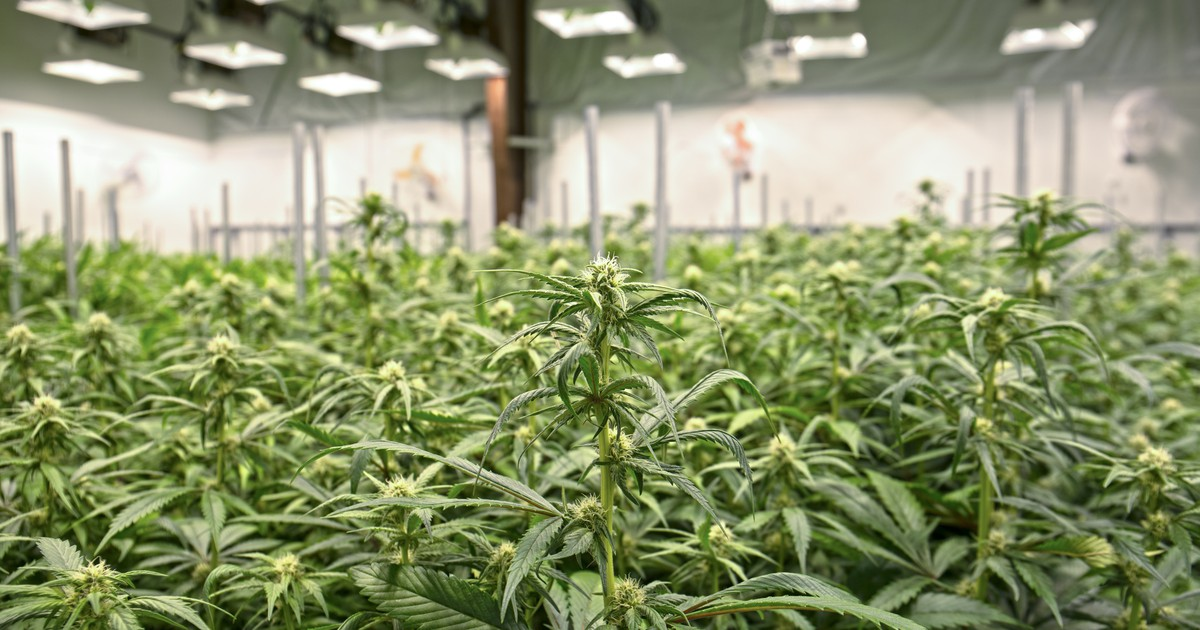 a discussion of the advantages of cannabis Medical marijuana can help treat many medical conditions cannabinoid science shows the health benefits of the cannabis compound cannibidiol, or cbd.