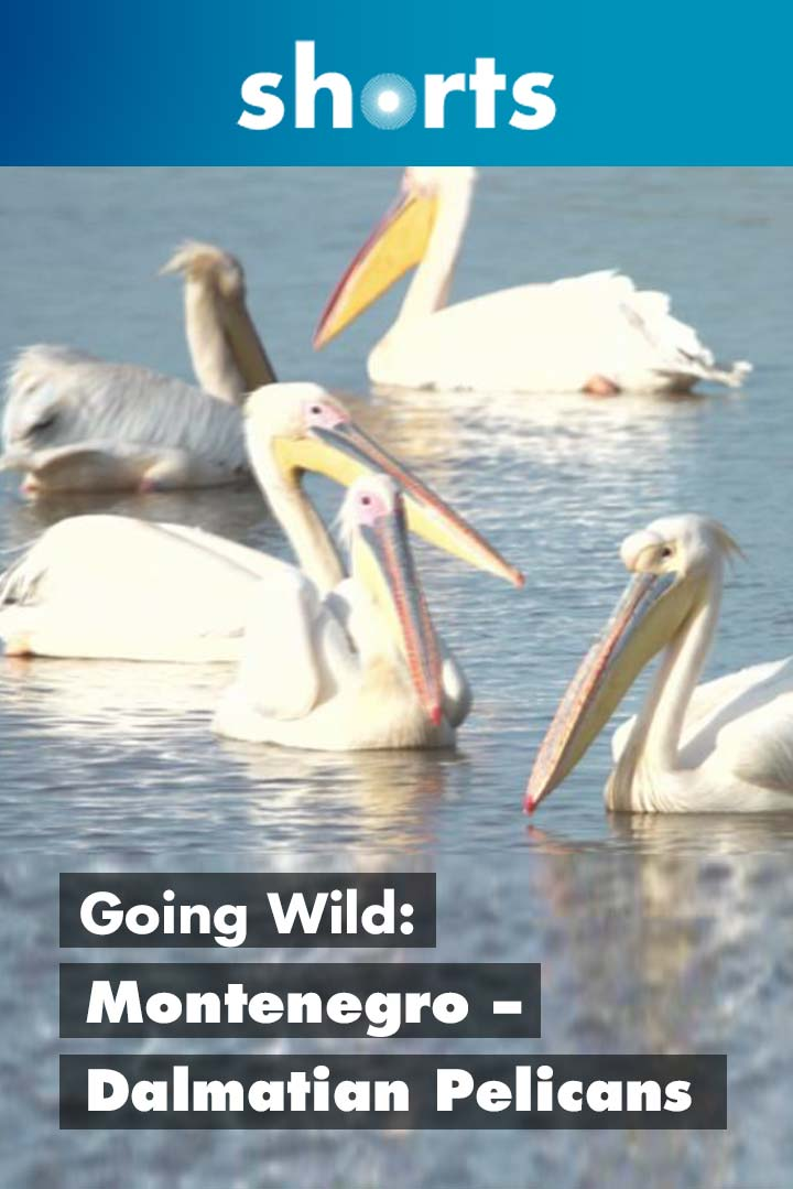Going Wild: Montenegro Dalmation Pelicans