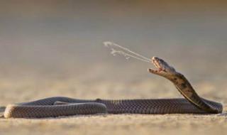 ular cobra, ular berbisa, racun ular
