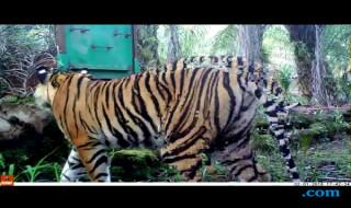 Harimau Bonita