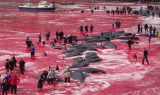 ratusan ikan paus dibantai
