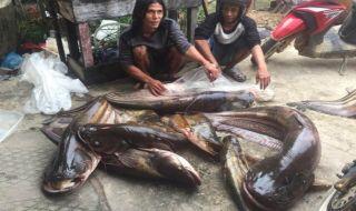 ikan tapah raksasa, nelayan ikan tapah, ikan tapah mempawah kalimantan barat