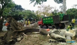 pohon tumbang di Kecamatan Blimbing