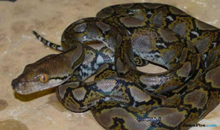 ular piton, ular makan manusia, ular muna sulawesi