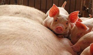 demam babi afrika, demam babi tiongkok, tiongkok musnahkan babi