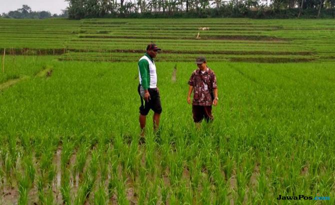 Tolong Pak Mentan! Ratusan Hektar Sawah Terancam Gagal Panen
