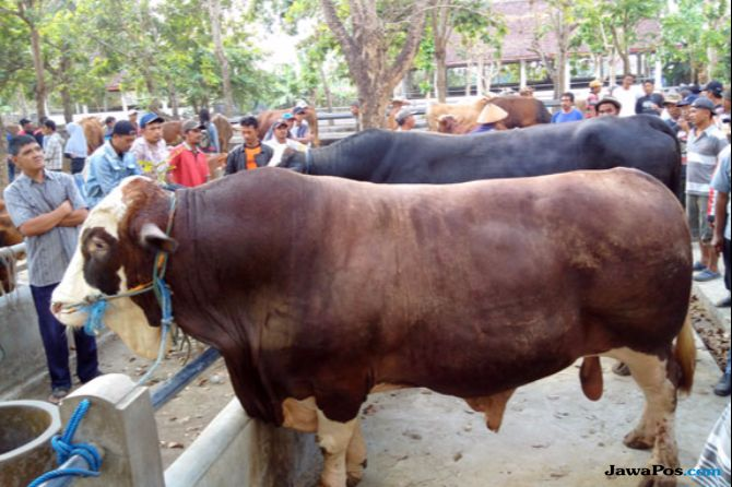 2 Minggu Sebelum Penjualan, Hewan kurban Tidak Boleh Diberi Antibiotik