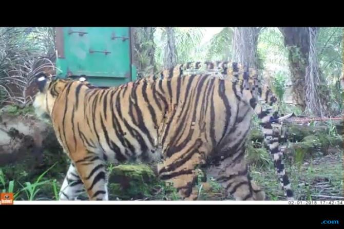 BBKSDA Riau: Harimau Sumatera Makan Ternak Warga di Pelalawan