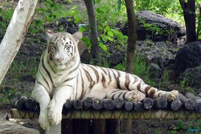 Harimau Putih