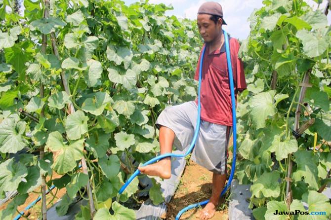 qomaruzzaman, petani melon, petani cacat, nasib petani, petani tanpa tangan