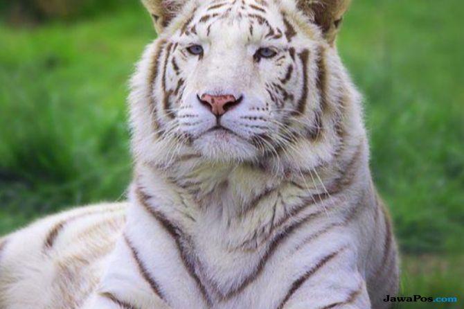 macan putih, pawang, jepang,