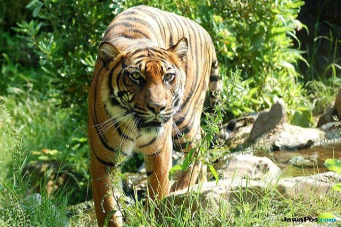 Lagi, Teror Harimau Melintas di Jalan Bikin Geger Warga Kerinci, Jambi