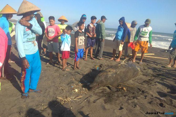 Lumba-Lumba Hidung Botol Terdampar di Kulon Progo