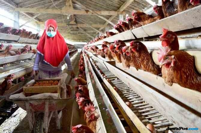 Pasokan Jagung Tak Stabil, Peternak Ayam Keluhkan Kenaikan Harga Pakan
