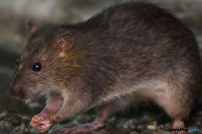 hepatitis e versi tikus, tikus,