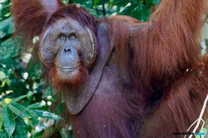 Populasi Orangutan Tapanuli di Sekitar PLTA Batangtoru Sangat Rendah