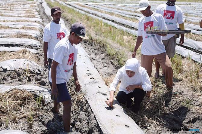 Sapa Petani, Khofifah Ikut Bantu Tanam Bibit Melon
