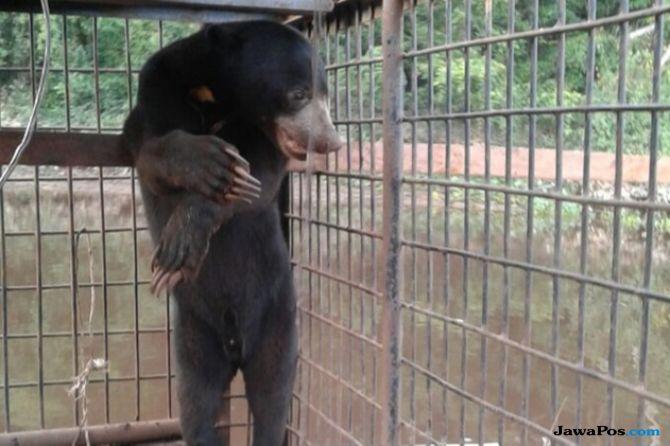 Sepasang Beruang Madu yang Masuk Pemukiman Warga Berhasil Dievakuasi