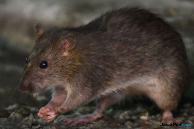tikus-tikus india kecanduan miras, miras, kecanduan miras,