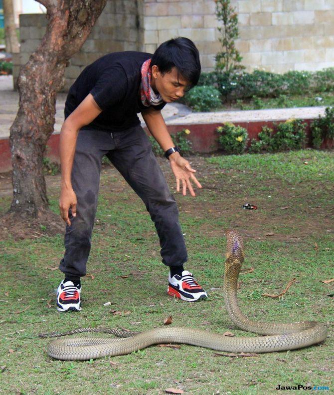 Bermain-main Dengan Peliharaannya, Rizki Dipatuk Ular Kobra