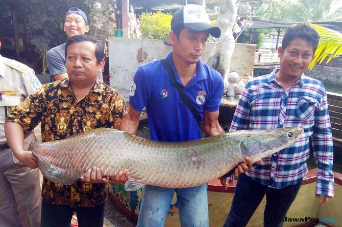Ikan Arapaima untuk Tontonan dan Santapan 17 Agustusan